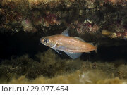 Купить «Norway pout (Trisopterus esmarkii) near reef», фото № 29077454, снято 5 августа 2018 г. (c) Некрасов Андрей / Фотобанк Лори