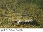 Купить «European plaice (Pleuronectes platessa) on algae», фото № 29077502, снято 8 августа 2018 г. (c) Некрасов Андрей / Фотобанк Лори