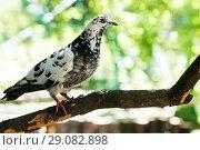 Купить «Дикий пёстрый голубь сидит на ветке», эксклюзивное фото № 29082898, снято 3 июня 2018 г. (c) Игорь Низов / Фотобанк Лори