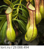 Купить «Pitcher plant (Nepenthes veitchii x stenophylla), a natural hybrid. Botanical Garden, KIT Karlsruhe, Germany, Europe.», фото № 29088494, снято 27 февраля 2020 г. (c) easy Fotostock / Фотобанк Лори