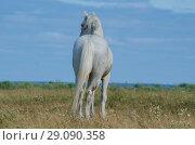 Купить «Белый конь в поле. Скакун на пастбище.», фото № 29090358, снято 28 июля 2018 г. (c) Яковлев Сергей / Фотобанк Лори