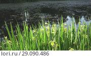 Купить «Iris pseudacorus yellow flag, yellow iris, water flag, lever is a species in the genus Iris, of the family Iridaceae on the bank of the lake in sunny day», видеоролик № 29090486, снято 11 сентября 2008 г. (c) Куликов Константин / Фотобанк Лори