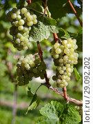 Купить «Sweet and tasty white grape bunches on the vine», фото № 29092202, снято 4 октября 2010 г. (c) Serg Zastavkin / Фотобанк Лори
