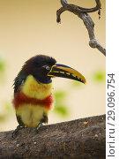 Купить «Chestnut-eared Aracari, Pteroglossus castanotis, Pantanal, Brazil.», фото № 29096754, снято 13 июля 2018 г. (c) age Fotostock / Фотобанк Лори
