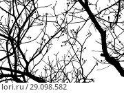 Купить «Alder tree branches, close-up silhouette», фото № 29098582, снято 22 марта 2018 г. (c) EugeneSergeev / Фотобанк Лори