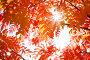 Купить «Красные листья рябины в лучах солнца», фото № 29098706, снято 17 сентября 2018 г. (c) Икан Леонид / Фотобанк Лори
