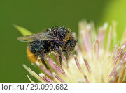 Купить «Bumblebee wakes up from a night's sleep», фото № 29099682, снято 8 сентября 2018 г. (c) Александр Клопков / Фотобанк Лори
