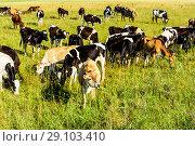 Купить «Коровы на пастбище в яркий солнечный летний день. Подмосковье, Россия», фото № 29103410, снято 9 августа 2018 г. (c) Владимир Устенко / Фотобанк Лори