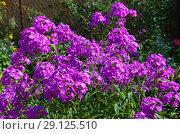 Купить «Сиреневые флоксы (лат. Phlox) цветут в саду», фото № 29125510, снято 8 августа 2018 г. (c) Елена Коромыслова / Фотобанк Лори