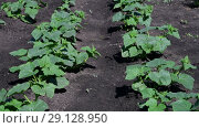 Купить «cucumber field fragment with young green shoots», видеоролик № 29128950, снято 25 июня 2018 г. (c) Володина Ольга / Фотобанк Лори
