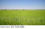 Купить «green wheat field in June», видеоролик № 29129686, снято 22 июня 2018 г. (c) Володина Ольга / Фотобанк Лори