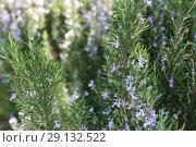 Купить «Ling heather (Caluna vulgaris)», фото № 29132522, снято 19 сентября 2018 г. (c) Марина Володько / Фотобанк Лори