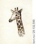 Купить «Голова жирафа на светлом фоне. Рисунок цветными карандашами», иллюстрация № 29132590 (c) Ирина Борсученко / Фотобанк Лори
