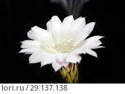 Цветок кактуса на черном фоне. Стоковое фото, фотограф Левончук Юрий / Фотобанк Лори