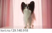 Купить «Papillon happily waves his tail and barks slow motion footage video», видеоролик № 29140918, снято 19 сентября 2018 г. (c) Юлия Машкова / Фотобанк Лори