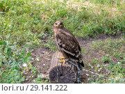 Купить «Степной орёл (лат. Aquila rapax)», фото № 29141222, снято 7 июля 2018 г. (c) Ольга Сейфутдинова / Фотобанк Лори