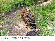 Купить «Степной орёл (лат. Aquila rapax)», фото № 29141226, снято 7 июля 2018 г. (c) Ольга Сейфутдинова / Фотобанк Лори