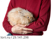 Купить «Red fluffy rabbit in the mans hands», фото № 29141298, снято 23 сентября 2018 г. (c) Юлия Кузнецова / Фотобанк Лори