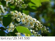 Купить «Цветущая черёмуха (лат. Prunus padus) на фоне зеленой листвы», эксклюзивное фото № 29141590, снято 25 мая 2015 г. (c) lana1501 / Фотобанк Лори