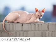Донской сфинкс греется на солнце на балконе, лежит на перилах. Стоковое фото, фотограф Кекяляйнен Андрей / Фотобанк Лори
