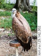Купить «Белоголовый сип (лат. Gyps fulvus), Griffon vulture. Eurasian griffon. vulture», фото № 29142302, снято 7 июля 2018 г. (c) Ольга Сейфутдинова / Фотобанк Лори