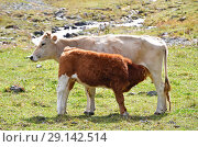 Купить «Теленок сосет молоко у коровы», фото № 29142514, снято 23 сентября 2018 г. (c) Овчинникова Ирина / Фотобанк Лори