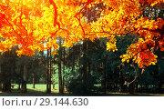 Купить «Autumn leaves background -oak tree branch with orange foliage lit by sunshine, sunny autumn landscape in bright sunlight», фото № 29144630, снято 21 сентября 2017 г. (c) Зезелина Марина / Фотобанк Лори