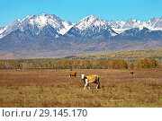 Купить «Cows and calves graze on the autumn meadow on ecologically clean pasture in the foothill valley», фото № 29145170, снято 22 сентября 2018 г. (c) Виктория Катьянова / Фотобанк Лори