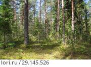 Купить «Природа Селигера. Хвойный лес», фото № 29145526, снято 2 августа 2018 г. (c) Елена Коромыслова / Фотобанк Лори