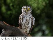 Купить «Little owl sitting on a branch in the forest», фото № 29148954, снято 21 сентября 2018 г. (c) Алексей Кузнецов / Фотобанк Лори
