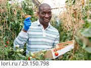 Купить «Happy farmer gathering in crops of tomatoes», фото № 29150798, снято 16 августа 2018 г. (c) Яков Филимонов / Фотобанк Лори