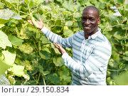 Купить «Successful farmer cultivating courgettes», фото № 29150834, снято 16 августа 2018 г. (c) Яков Филимонов / Фотобанк Лори