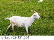 Купить «Коза на летнем пастбище», фото № 29151554, снято 7 июля 2018 г. (c) Ольга Сейфутдинова / Фотобанк Лори