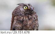 Купить «The owl sits on a branch and is frightened of something. Eurasian (European) scops owl  in its natural forest habitat, closeup», видеоролик № 29151678, снято 1 октября 2018 г. (c) Алексей Кузнецов / Фотобанк Лори