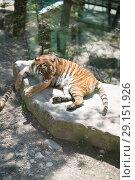 Купить «Tiger at the zoo», фото № 29151926, снято 24 апреля 2018 г. (c) Типляшина Евгения / Фотобанк Лори