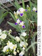 Купить «Flowers Irises grow», фото № 29152026, снято 23 апреля 2018 г. (c) Типляшина Евгения / Фотобанк Лори