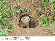 Купить «Любопытный суслик (Spermophilus undulatus) выглядывает из норы. Долина реки Чуя, Алтай.», фото № 29165798, снято 4 августа 2018 г. (c) Сергей Рыбин / Фотобанк Лори