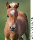 Купить «Портрет рыжего жеребенка. Американская миниатюрная лошадь.», фото № 29166766, снято 18 августа 2018 г. (c) Абрамова Ксения / Фотобанк Лори