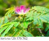 Купить «Flower and leaves of persian silk tree», фото № 29179762, снято 9 сентября 2018 г. (c) Ольга Сергеева / Фотобанк Лори