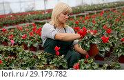 Купить «Portrait of mature female gardener working with begonia plants in pots in greenhouse», видеоролик № 29179782, снято 18 сентября 2018 г. (c) Яков Филимонов / Фотобанк Лори