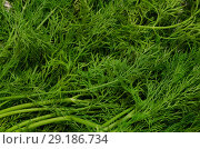 Купить «Разложенный укроп как фон», фото № 29186734, снято 1 октября 2018 г. (c) Игорь Кутателадзе / Фотобанк Лори