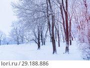 Купить «Winter landscape with falling snow - winter wonderland forest with snowfall in the winter grove. Snowy winter scene», фото № 29188886, снято 11 декабря 2017 г. (c) Зезелина Марина / Фотобанк Лори