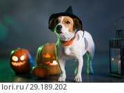 Купить «Dogl in costume for Halloween», фото № 29189202, снято 30 сентября 2018 г. (c) Типляшина Евгения / Фотобанк Лори