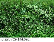 Купить «Seasoning from the green fennel cut for drying», фото № 29194090, снято 18 октября 2018 г. (c) ElenArt / Фотобанк Лори