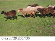 Купить «Sheep on the field», фото № 29200130, снято 4 октября 2018 г. (c) Типляшина Евгения / Фотобанк Лори