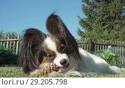 Купить «Beautiful dog breed Papillon gnaws spruce cone on lawn», фото № 29205798, снято 20 апреля 2019 г. (c) Юлия Машкова / Фотобанк Лори