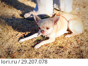 The smooth-haired Chihuahua lies on the yellow needle near the owner's leg. Стоковое фото, фотограф Акиньшин Владимир / Фотобанк Лори