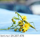 Купить «Большой богомол сидит на  жёлтом полевом цветоке. Крупный план», эксклюзивное фото № 29207478, снято 10 августа 2018 г. (c) Игорь Низов / Фотобанк Лори