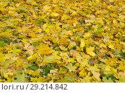 Купить «Ковер из опавших кленовых листьев осенним днем», фото № 29214842, снято 9 октября 2018 г. (c) Елена Коромыслова / Фотобанк Лори