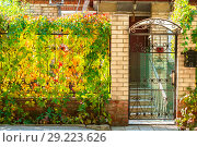 Купить «Autumn mood, seasons. Leaves of wild grapes of bright yellow red orange purple green color on a metal forged fence and a gate at the entrance to a rural house», фото № 29223626, снято 7 октября 2018 г. (c) Светлана Евграфова / Фотобанк Лори